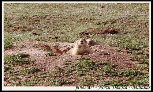 Zdjecie USA / Dakota Polnocna / N.P. / Badlands - Park Narodowy - North Dakota - piesek preriowy
