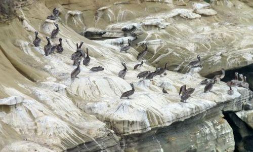Zdjecie USA / California / San Diego / wybrzeże La Jola, ptactwo na