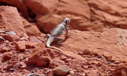 USA / Nevada / Valley of Fire State Park / Jaszczurka na czerwonej skale