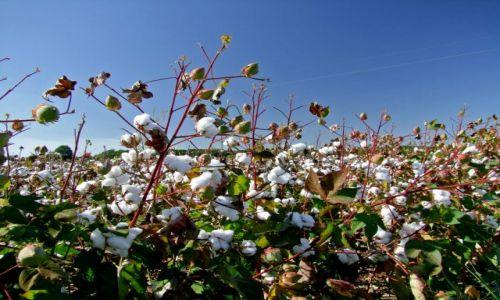 Zdjęcie USA / - / Arkansas / bawelniane pole