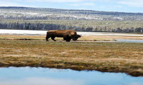 Zdjecie USA / Wyoming / Yellowstone N.P. / BIZON