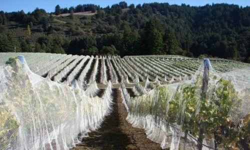 Zdjecie USA / Kalifornia / Watsonwille / Winnica