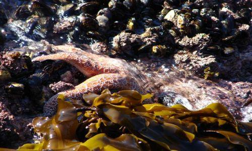 Zdjecie USA / Wybrzeże Pacyfiku, Point Lobos / Kalifornia / Rozgwiazda