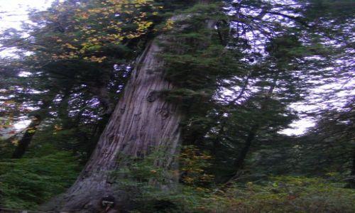 Zdjecie USA / Kaliwfornia / Redwoods forest / najwieksze drzewo