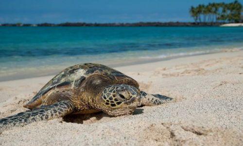 Zdjecie USA / Hawaje / Big Island / żółw