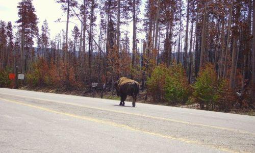 Zdjecie USA / Wyoming / Park Yellowston / pan i władca Yellowston