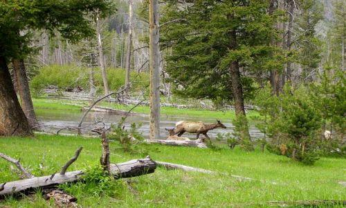 Zdjecie USA / Wyoming / Nat.Park Yellowstone / podpatrując w Yellowstone Nat.Park