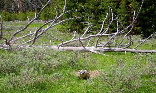 Zdjecie USA / Wyoming / Yellowstone Nat.Park / borsuk w