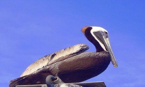 Zdjęcie USA / North Carolina / Carolina Beach / pelikan jak posąg - na molo w Carolina Beach
