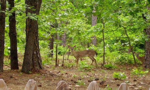 Zdjęcie USA / North Carolina / okolice Sanford / sarny tuż przy domu
