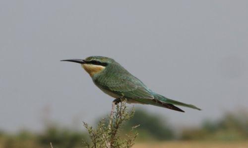 UZBEKISTAN / Wschodni Uzbekistan / Dolina Syrdarii / żołna zielona odpoczywająca podczas migracji