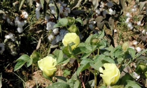 Zdjęcie UZBEKISTAN / Termez / - / Uprawa bawełny