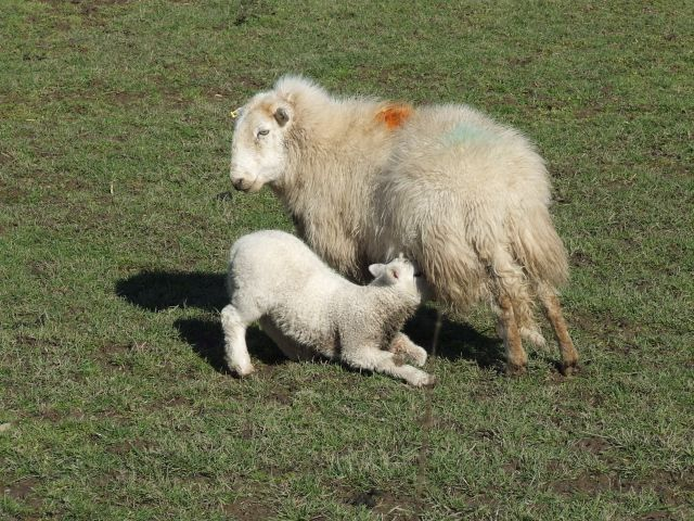 Zdjęcia: Anglia, droga do Aber, owieczki, WALIA