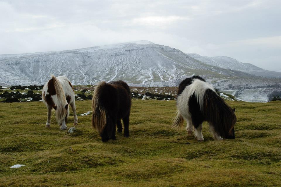 Zdjęcia: Góry Czarne, Dzikie kuce Pony, WALIA