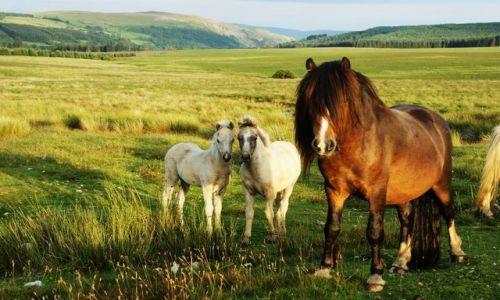 Zdjecie WALIA / - / Okolice Brecon / Dzikie konie