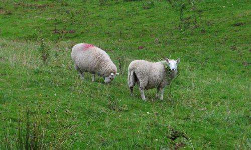 Zdjecie WALIA / Południe / Brecon Beacons / Brecon Beacons, owce