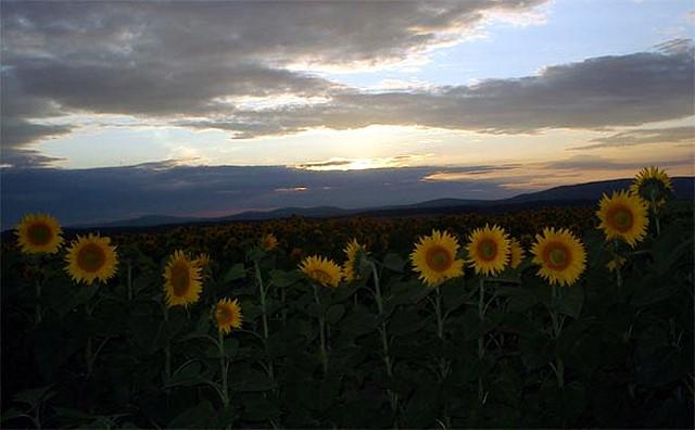 Zdjęcia: pomiędzy Balatonem a Budapesztem, Węgry środkowe, Węgierskie słoneczniki, WĘGRY