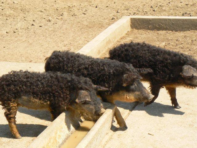 Zdjęcia: PN Hortobagy - zoo z lokalnymi rasami, Północne Węgry, Były sobie świnki 3, WĘGRY