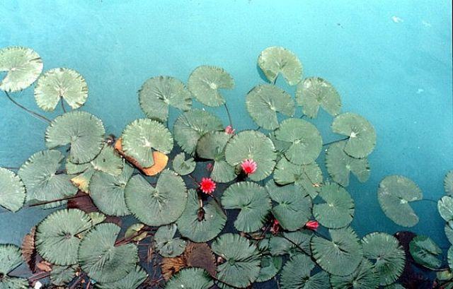Zdjęcia: HEVIZ, Czerwone lilie wodne na ciepłym jeziorze, WĘGRY