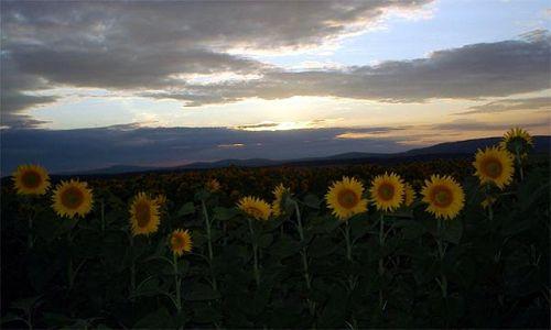 Zdjecie WĘGRY / Węgry środkowe / pomiędzy Balatonem a Budapesztem / Węgierskie słoneczniki