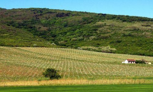 Zdjecie WĘGRY / Tokaj / brak / Plantacja winog
