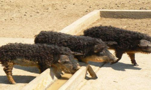 Zdjęcie WĘGRY / Północne Węgry / PN Hortobagy - zoo z lokalnymi rasami / Były sobie świnki 3