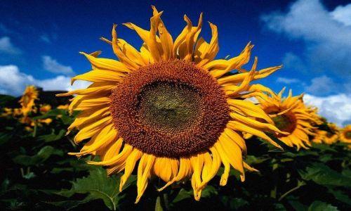 Zdjecie WĘGRY / całe Węgry / pola  złocistych słoneczników / Złocisty słonec