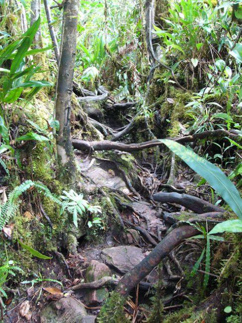 Zdjęcia: Park Narodowy Canaima, Gran Sabana, Ściezka z korzeniami, WENEZUELA