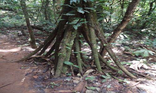WENEZUELA / Bolivar / Rio Caura / Kroczące drzewo