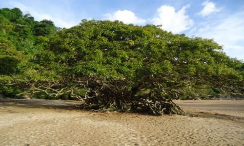 Zdjecie WENEZUELA / Bolivar / Rio Caura / Stare drzewo
