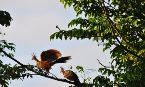 Zdjecie WENEZUELA / - / Orinoko / pra ptak z nad Orinoko