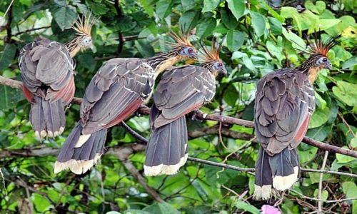 Zdjęcie WENEZUELA / Delta Orinoko / . / Hoacyn tzw.praptak