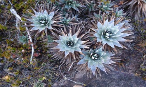 Zdjecie WENEZUELA / Gran Sabana / Szczyt Roraimy / Jedna z endemicznych roślin Roraimy