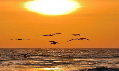 Zdjecie WENEZUELA / wyspa Margarita / La Mira / Polujące pelikany