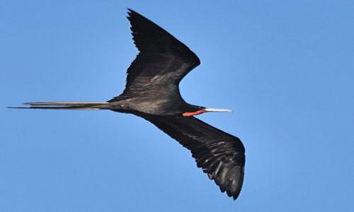 Zdjecie WENEZUELA / wyspa Margarita / La Mira / Samiec Fregaty (ang. Magnificent Frigatebird, łac. Fregata magnificens)