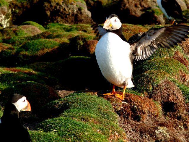 Zdjęcia: Fair Isle, Szetlandy, To jest klata !!, WIELKA BRYTANIA