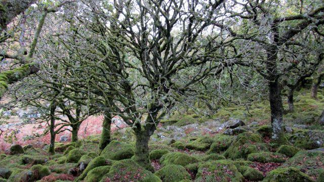 Zdjęcia: Wistman's Wood, Dartmoor, Las Druidów, WIELKA BRYTANIA
