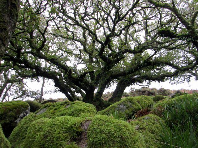 Zdjęcia:  Wistman\'s Wood, Dartmoor, Las Druidów, WIELKA BRYTANIA