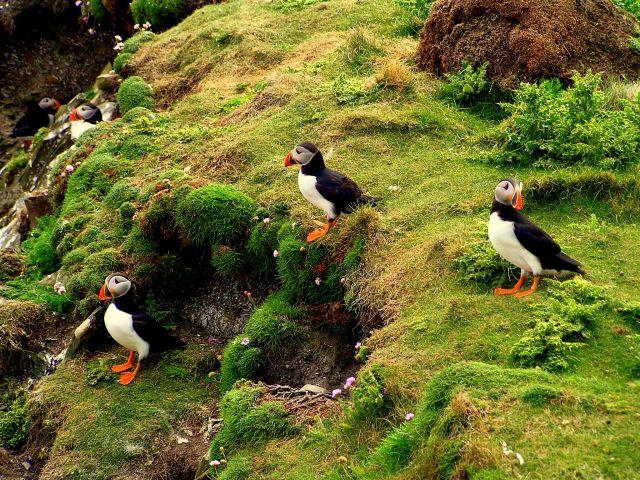 Zdj�cia: Szetlandy, Szkocja, Maskonury na Sumburgh Head, WIELKA BRYTANIA
