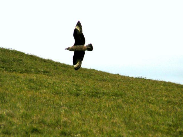 Zdjęcia: Szetlandy, Szkocja, Wydrzyk wielki-kamikadze. Zaraz mnie zaatakuje. Broni piskląt.  , WIELKA BRYTANIA