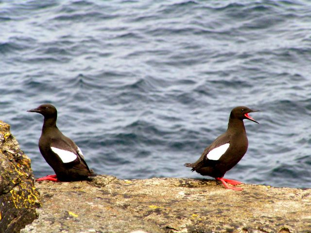 Zdj�cia: Szetlandy, Szkocja, P�ochliwy nurzyk bia�oskrzyd�y na wyspie Noss., WIELKA BRYTANIA