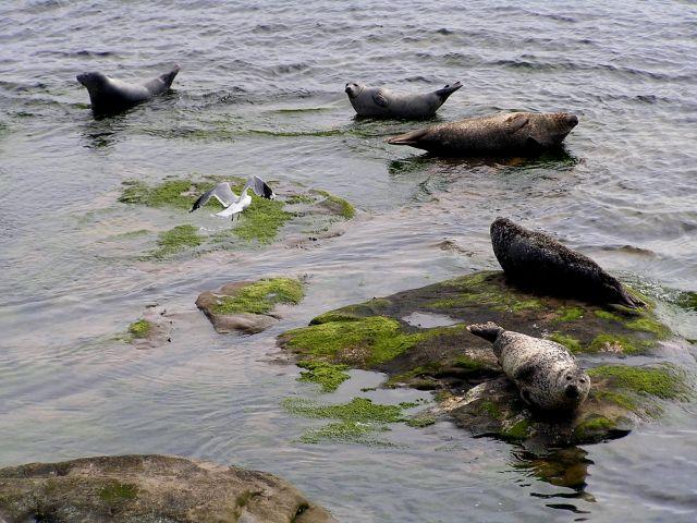 Zdjęcia: Szetlandy, Szkocja, Foki na wyspie Noss., WIELKA BRYTANIA