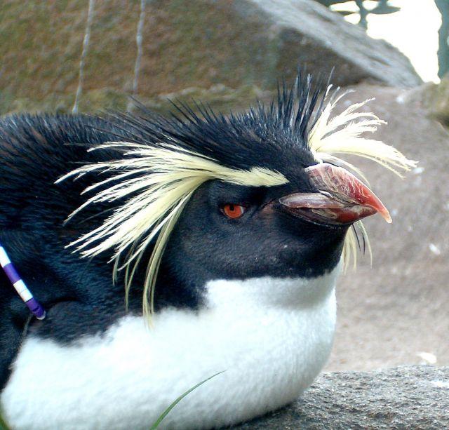 Zdjęcia: Edynburg, Pikny pingwinek..niestety w zoo, WIELKA BRYTANIA