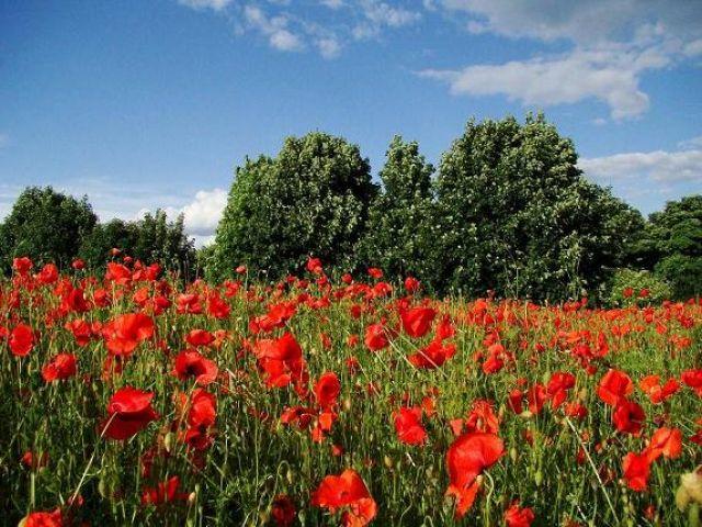 Zdjęcia: okolice Doncaster, South Yorkshire, makowe pola (lato), WIELKA BRYTANIA