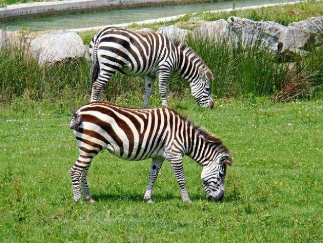 Zdjęcia: Flaming Park, North  East  England, zebry, WIELKA BRYTANIA