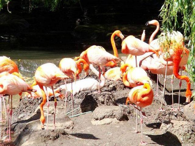 Zdj�cia: Flaming Park, North  East  England, flamingi , WIELKA BRYTANIA