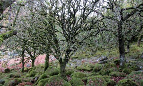 Zdjecie WIELKA BRYTANIA / Dartmoor / Wistman's Wood / Las Druidów