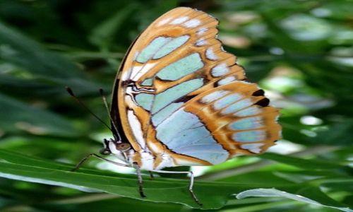 Zdjecie WIELKA BRYTANIA / Szkocja / Butterfly & Insect World Edinburgh / motylek2
