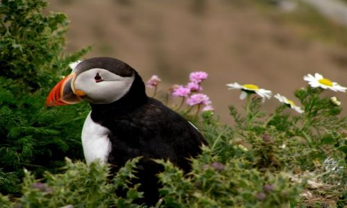 Zdjęcie WIELKA BRYTANIA / Szkocja / Szetlandy / Maskonur na Sumburgh Head