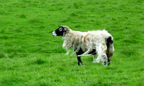 Zdjęcie WIELKA BRYTANIA / Anglia / Lake District / Wilk w owczej skórze?